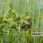 remedio para la alergia a la parietaria