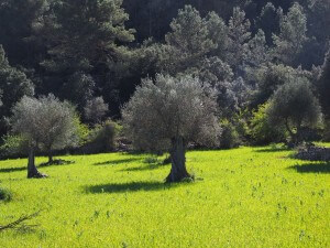 alergia al polen de olivo y filtro nosk