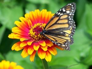 polen mariposa