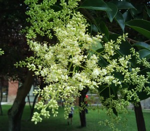 el polen de aligustre es alérgico