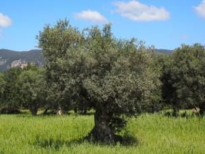 alergia al olivo en barcelona