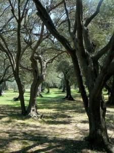 el olivo y la olivera dan alergia