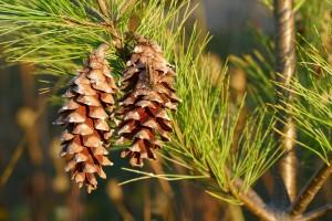 alergia a los pinos