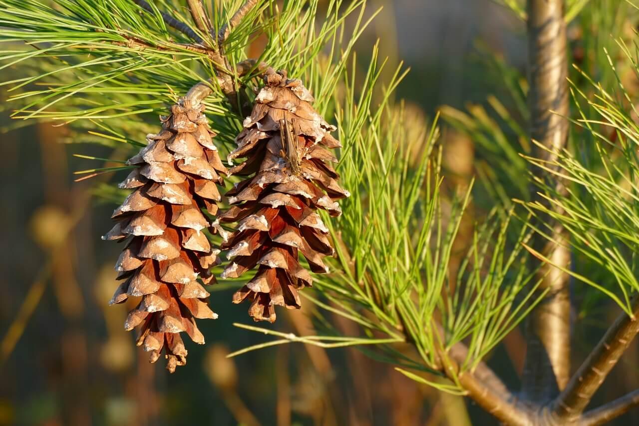 Holland Y Holland >> Alergias a los pinos. | Filtrosnosk.com