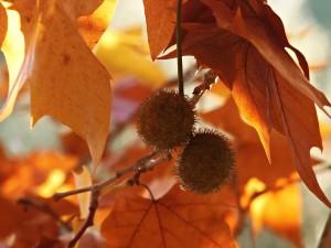 el polen de platanera